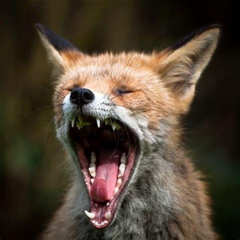 fox wildlife  wildlife
