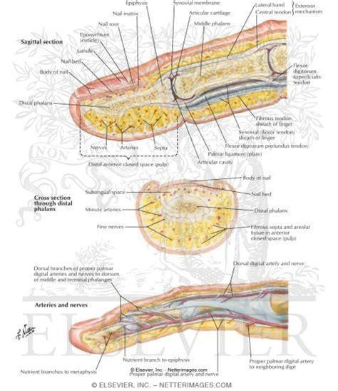 Finger Anatomy Understanding Muscle Movement Joints