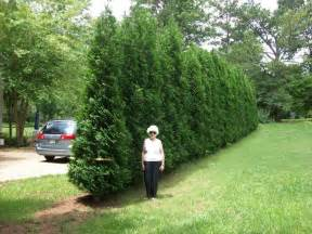 25 best ideas about privacy plants on garden privacy screen landscape design and
