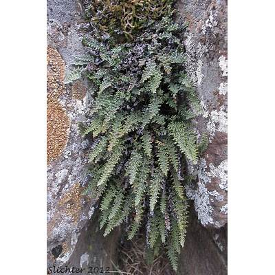 Lace Lipfern Fern: Cheilanthes gracillima