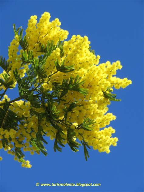 fiori e mimose turismo lento route du mimosa da bormes les mimosas a