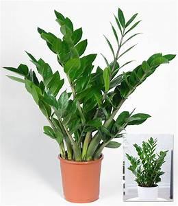 Pflanzen Günstig Kaufen : zamioculcas 1 pflanze g nstig online kaufen mein sch ner garten shop ~ A.2002-acura-tl-radio.info Haus und Dekorationen