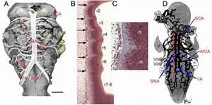 Comparative Anatomy Of The Carotid