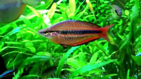 melanotaenia trifasciata pk melanotaenia goldiei