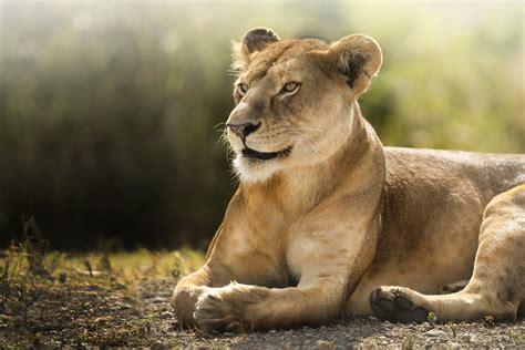 wallpaper lion savanna cute animals animals
