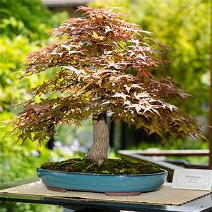 Bonsaiausstellung im chinesischen garten stuttgart 2013 for Garten planen mit bonsai acer