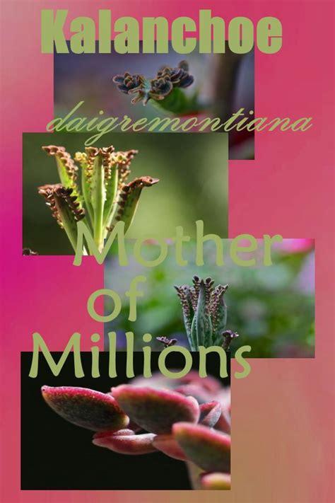 kalanchoe daigremontiana maternity plant  mother