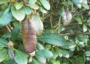 Rhododendron Eingerollte Blätter : rhododendron park wachwitz krankheiten pilzbefall kranker bl tter ~ Markanthonyermac.com Haus und Dekorationen