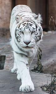 White tiger by Anton Brylev | White tiger, Wild cats, Rare ...