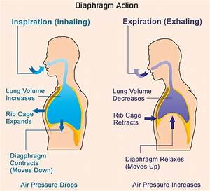 Respiratory System Facts : You Might Not Know At All