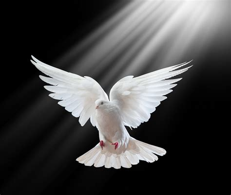 dove white beautiful white dove holy spirit
