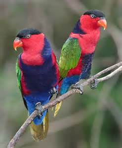Black-capped Lory