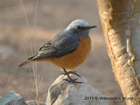 Bird Of The Week Week 71 Short Toed Rock Thrush