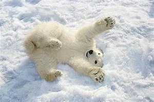 Polar Bear Cub Playing In Snow Alaska Photograph by Mark ...