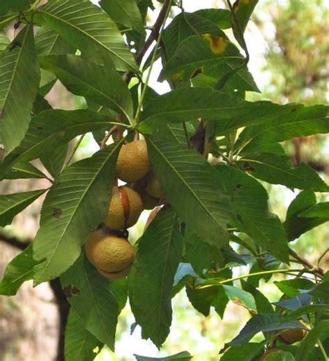 Buckeye Leaf and Nut
