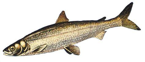 Cisco Whitefish.jpg