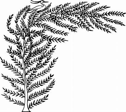 Clipart Fern Compound Leaf Webstockreview Tamarisk