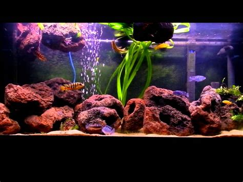 african cichlids 240litre tank with lava rock youtube
