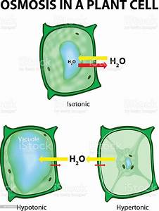 Osmosis In Plant Cells Diagram