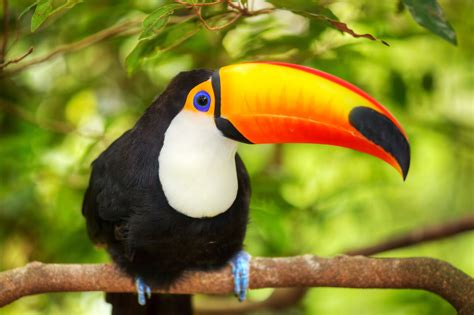 Beautiful Toucan  Birds  Animals  Categories Canvas