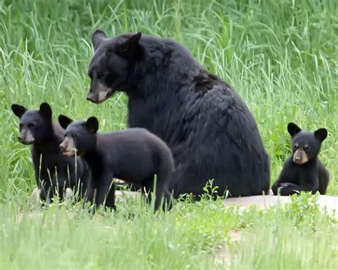 Art Lander's Outdoors Black Bears Find A Home In Eastern