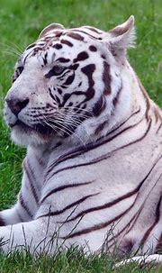 White tiger Wallpaper 4K, Green Grass, Wild animals, Big ...