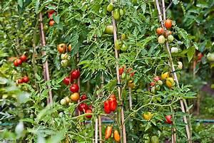 Bohnen Anbauen Anleitung : garten tomaten ~ Whattoseeinmadrid.com Haus und Dekorationen