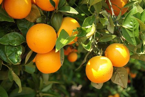 oranger planter et entretenir ooreka