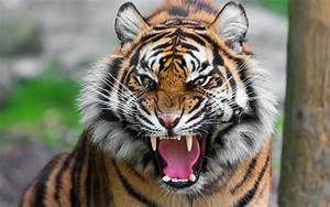 Fierce Tiger Wallpaper 40406 2560x1600 px ~ HDWallSource.com