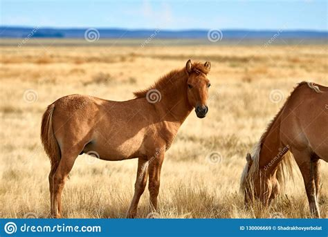 horses wild asia central steppe grazing horse nomadic