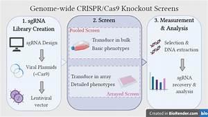 Genome-wide Crispr-cas9 Knockout Screens