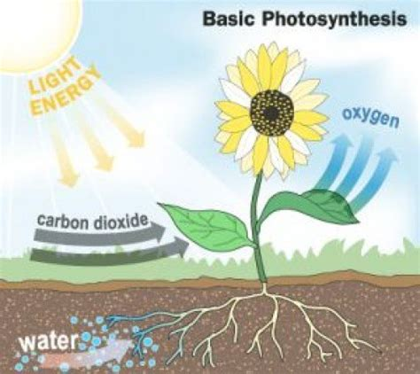 simple diagram  photosynthesis hubpages