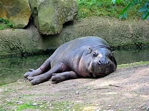 Picture 1 of 9 - Pygmy Hippopotamus (Choeropsis ...