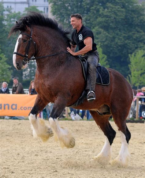 horse shire horses draft clydesdale gentle tall giant colors riding english heavy they many biggest tallest ever paarden guys pulling