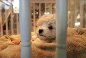 Shop Pet Store Puppies