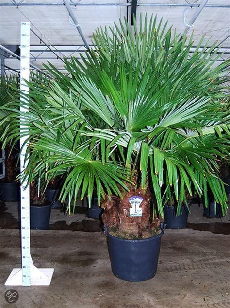 bol palmbomen tuin en balkonplant trachycarpus fortunei doorsnede pot 60cm