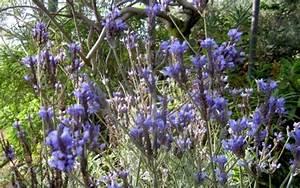 Lavendel Sorten übersicht : kanarischer lavendel pflanze lavandula pinnata lavendel labkraut lungenkraut pflanzen ~ Eleganceandgraceweddings.com Haus und Dekorationen