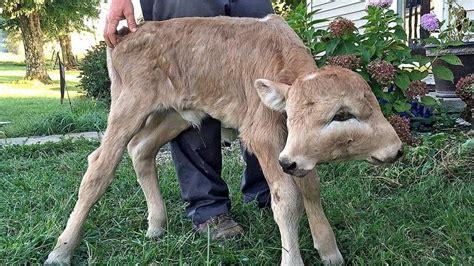 taylor countys lucky   headed calf lives