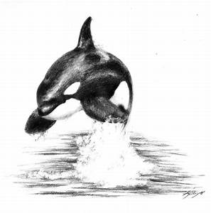 Killer Whale Drawings In Pencil