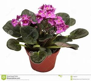 Pot Fleur Interieur : violettes usine d 39 int rieur la maison dans le pot de fleurs d 39 isolement image stock image du ~ Teatrodelosmanantiales.com Idées de Décoration