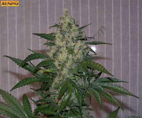 fin de floraison cannabis interieur free du growshop alchimia