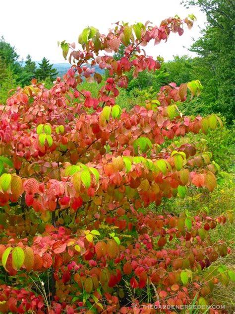 Chinese Gardener by The Gardener S Eden Viburnum Plicatum Var Tomentosum