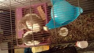 Two male dumbo rats and cage | Birmingham, West Midlands ...