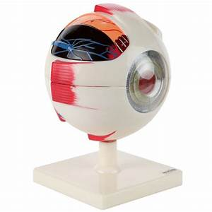 Axis Scientific 5x Enlarged Human Eye Model  Eyeball