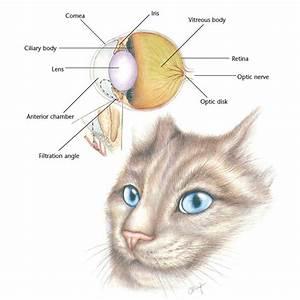 Cornea Iris Ciliary Body Vitreous Body Retina Lens