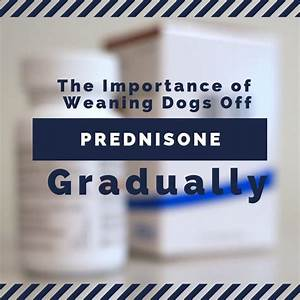 The Importance Of Gradually Weaning Dogs Off Prednisone