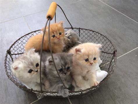 combien de portee par an pour un chat chats et chatons persans indre et loire 37
