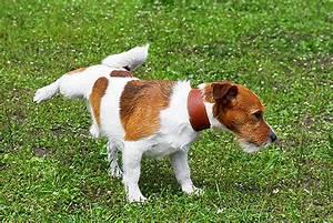 Gerüche Die Hunde Abschrecken : kleine hunde schummeln beim gassigehen news ~ Frokenaadalensverden.com Haus und Dekorationen