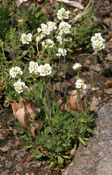 File:Draba magellanica.jpg - Wikimedia Commons