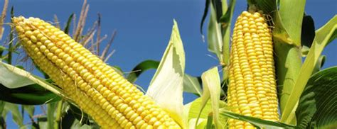 Market Prices for Dry Maize Reduce as Harvest Season Nears ...